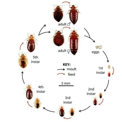 The Different Stages Of The Bed Bug Life Cycle Pest Stop Solutions