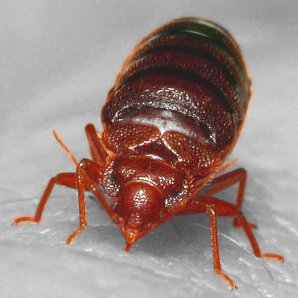 Image of bed bug close up piercing skin with proboscis and taking blood meal