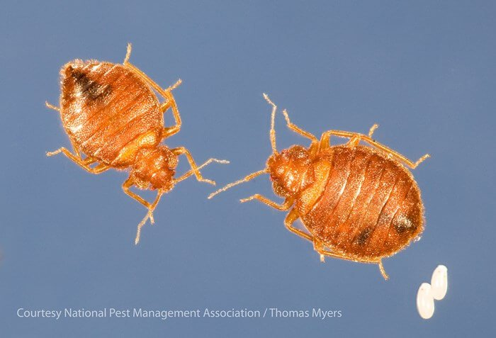 picture of male bed bug and female bed bug and two semi-translucent eggs