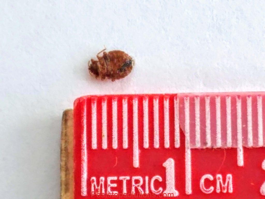 bed bug placed alongside ruler for actual size measurement