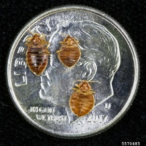 Picture of three different sized bed bugs on a dime for actual size comparison