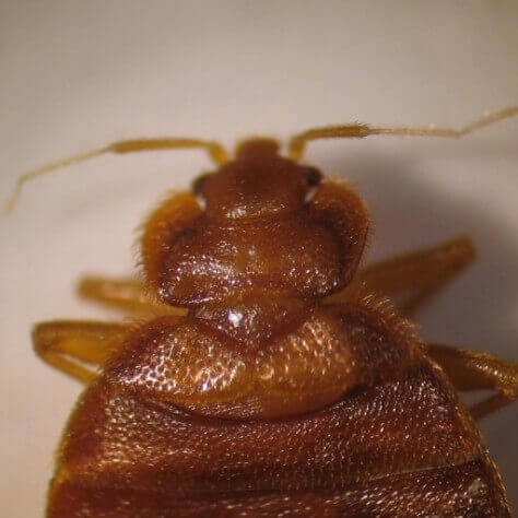Close up of adult bed bug head, thorax and wing pads