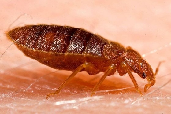 Close up photo of adult bed bug from side view feeding on human