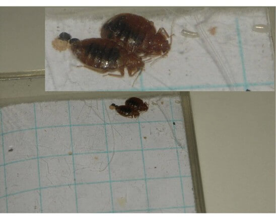 bed bug male and female with eggs and fecal matter