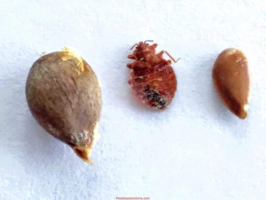 Dead bed bug between apple seed and flax seed size comparison