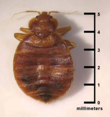 Image of actual size of bed bug against measurement