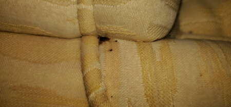 cluster of bed bugs on couch seams