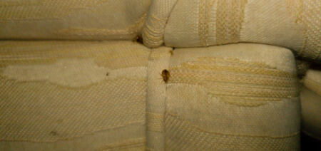 adult bed bug crawling on couch seam