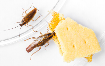 Female German cockroach carrying ootheca egg case